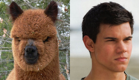 Taylor Lautner's Alpaca Doppleganger