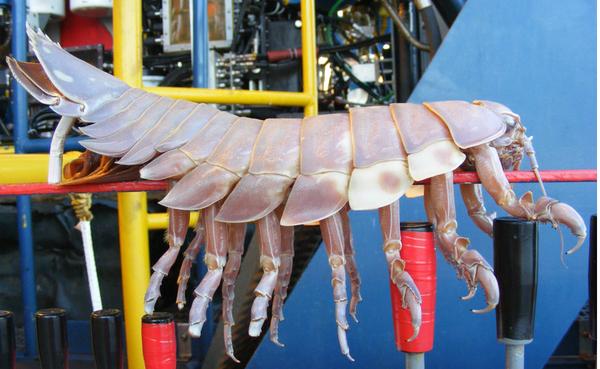 2.5-Foot Isopod