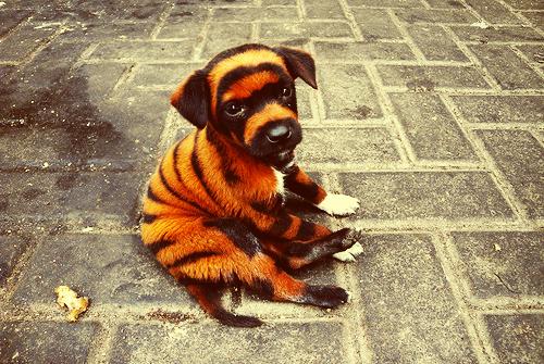 Tiger Puppy!
