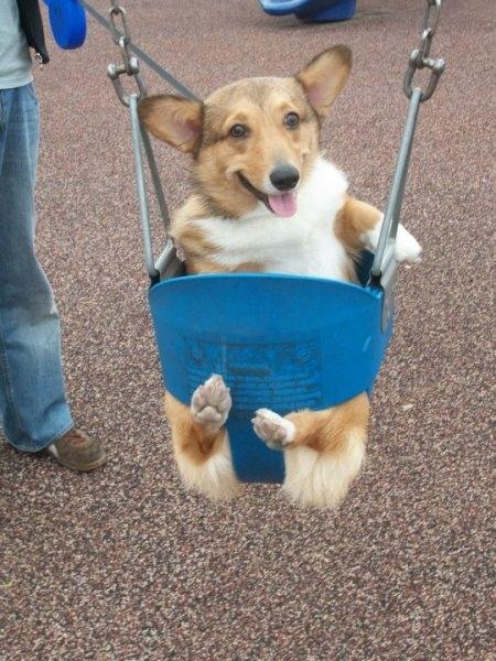 Corgi in a Swing