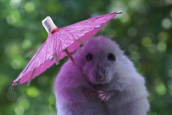 Rodent Debutante