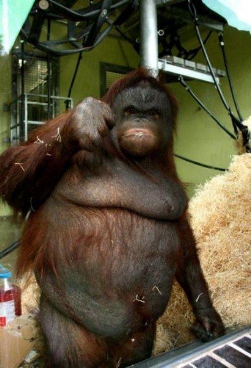 Fist Bumping Orangutan