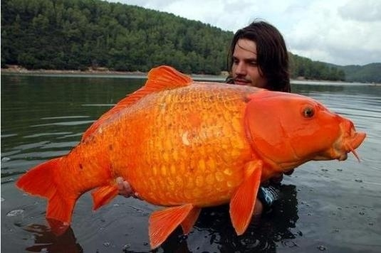 Giant Goldfish Caught in France