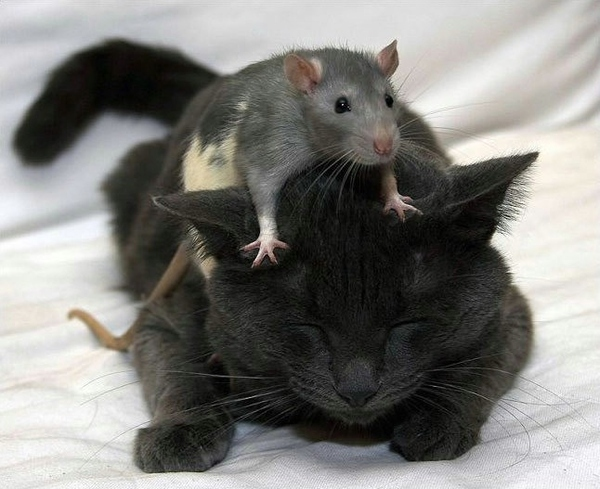 Mouse On Top of Cat!