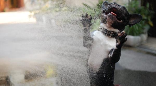 A Bulldog Experiencing Pure Joy