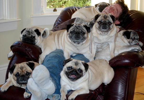 Pug Lap Dogs