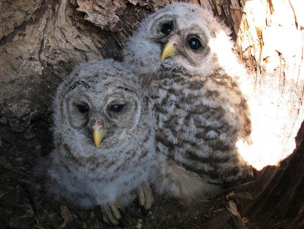 City Slicker Owls Take Over Suburban Tree