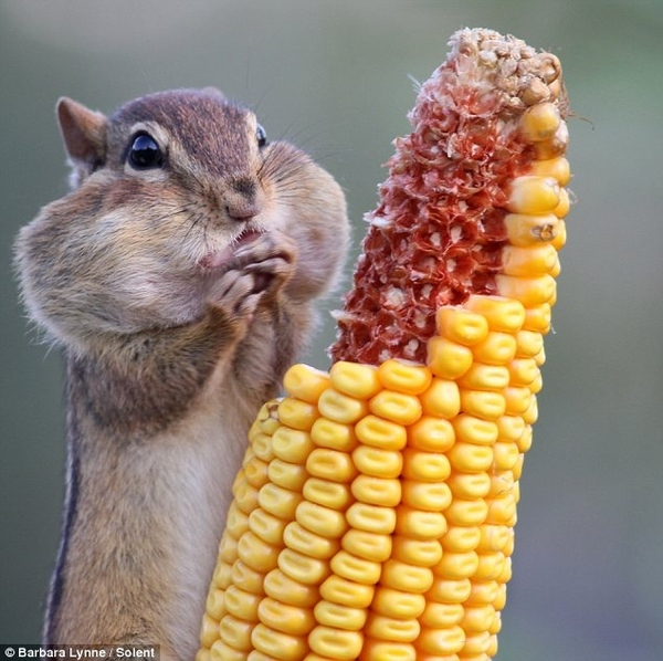 Now That's A Cheeky Chipmunk