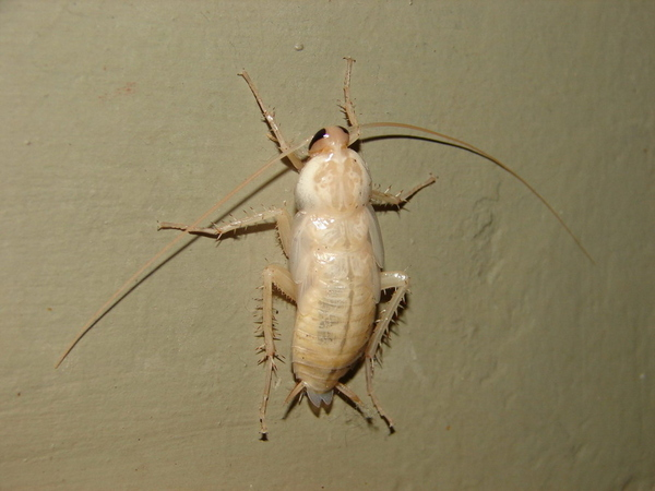 Photos of White Cockroach