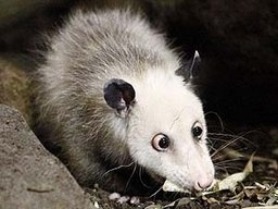 'Heidi' The Famous Cross-Eyed Possum Dies