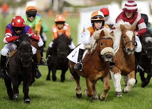 Shetland Pony Races