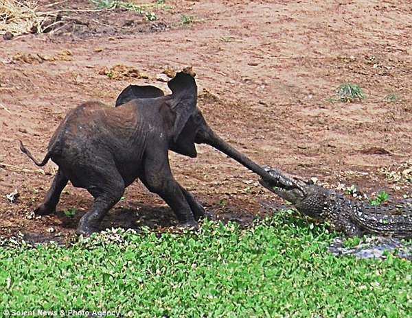 Baby Elephant Gets Too Close to a Croc