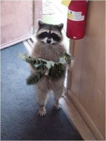 Raccoon Surprise