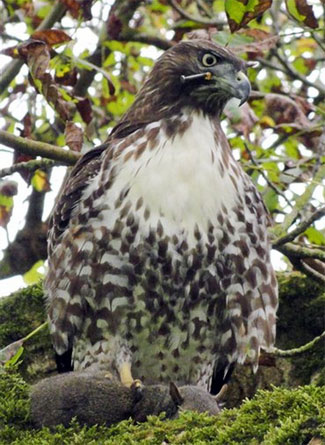 Hawk Shot With Nail Gun Eludes Rescue