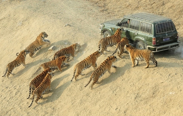 Can A Zombie Repellent Suv Hold Against Tigers Pic
