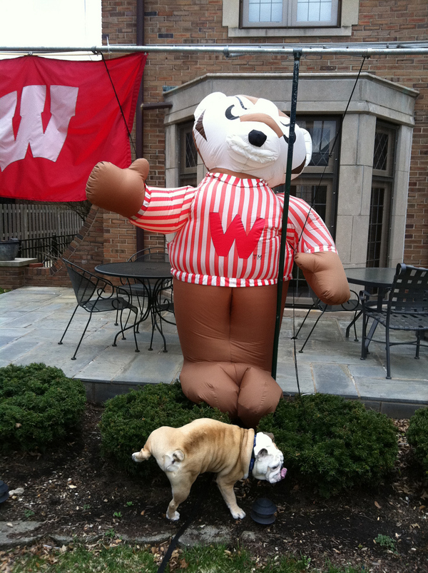 Butler's Mascot, Blue, Peeing On A Wisconsin Badger