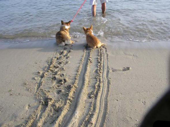 Corgis Do Not Like The Ocean!