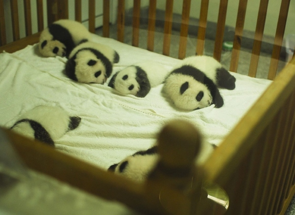 Crib Of Baby Pandas