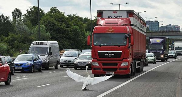 Tiananmen Swan