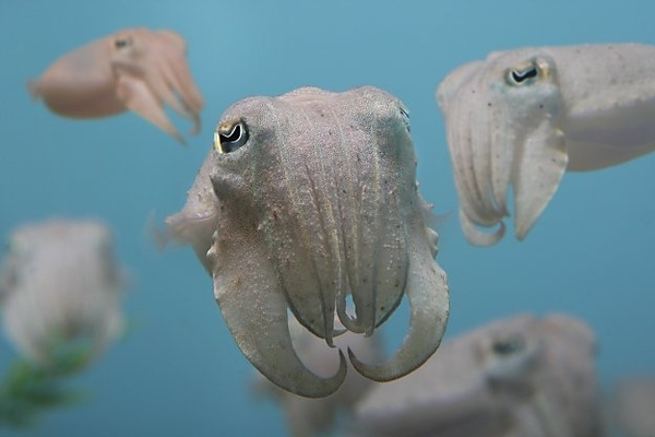 Juvie Cuttlefish