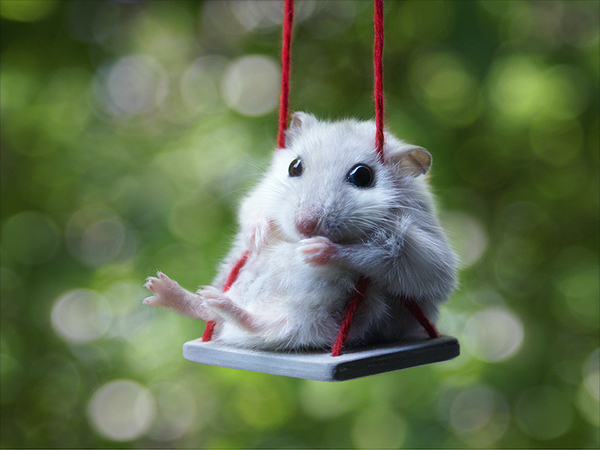 Hamster Riding A Swing