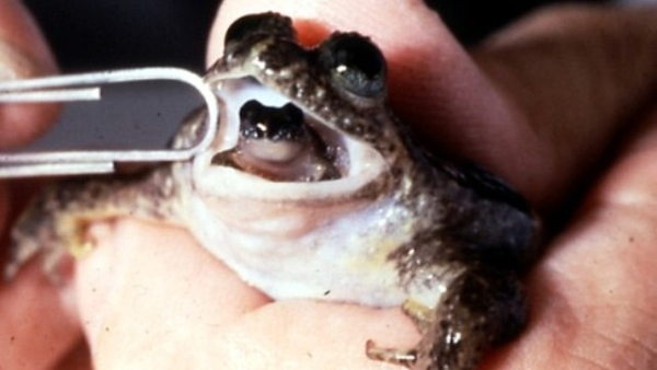 Frog That Raises Its Babies In Its Mouth