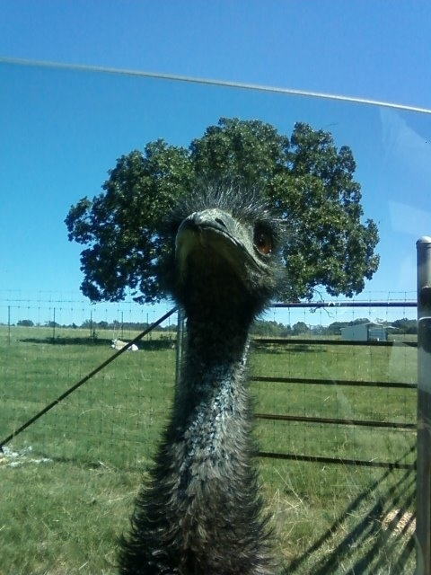 No, I Said EMU... Not EMO!