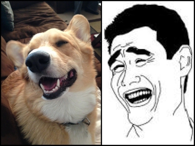 Kuma the corgi does the yao ming meme