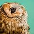 juniper owl