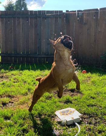 different reviewer dog jumping in air to catch water