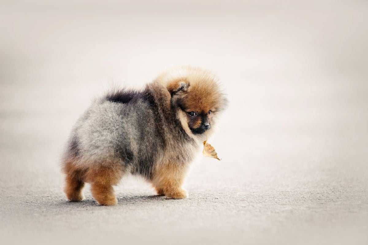 A fluffy Pomeranian puppy turns around to face the camera