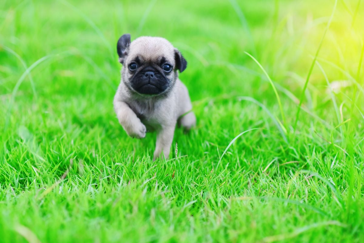 A pug puppy running in the grass