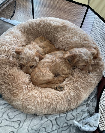 two small dogs in the bed