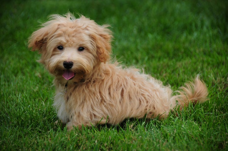 A maltipoo puppy sits in the grass
