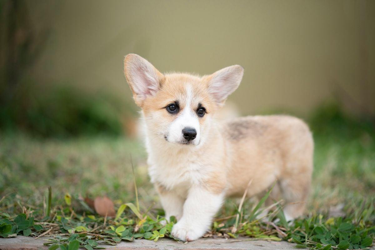 A corgi puppy stands in the grass near a sidewalk
