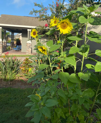 different reviewer's backyard with tall sunflower plants in full bloom