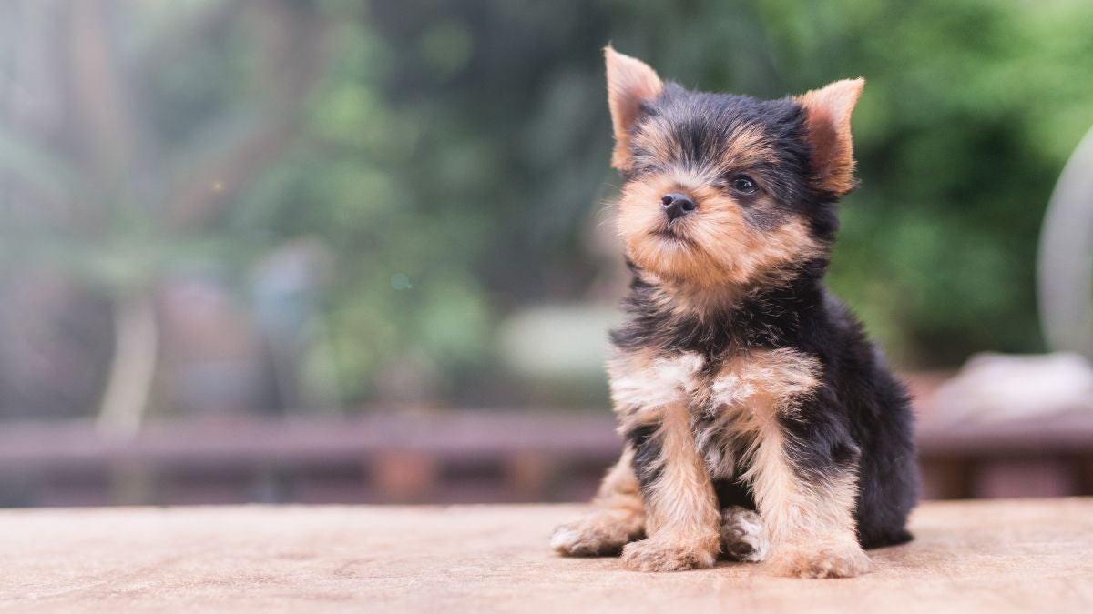 A Yorkie puppy sits on a bench and tilts its head to the side