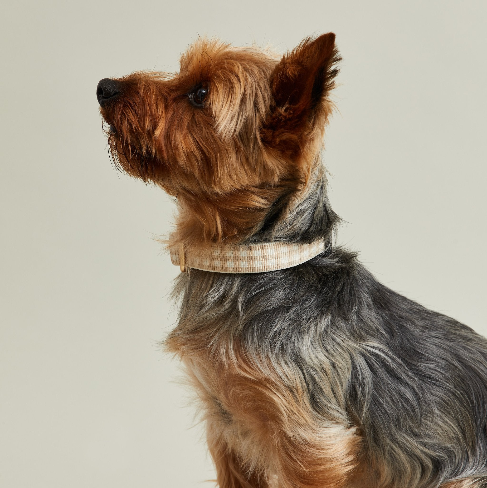 a yorkie in a tan gingham collar