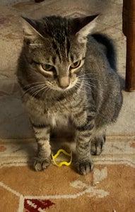 Cat sitting next to yellow bracelet toy