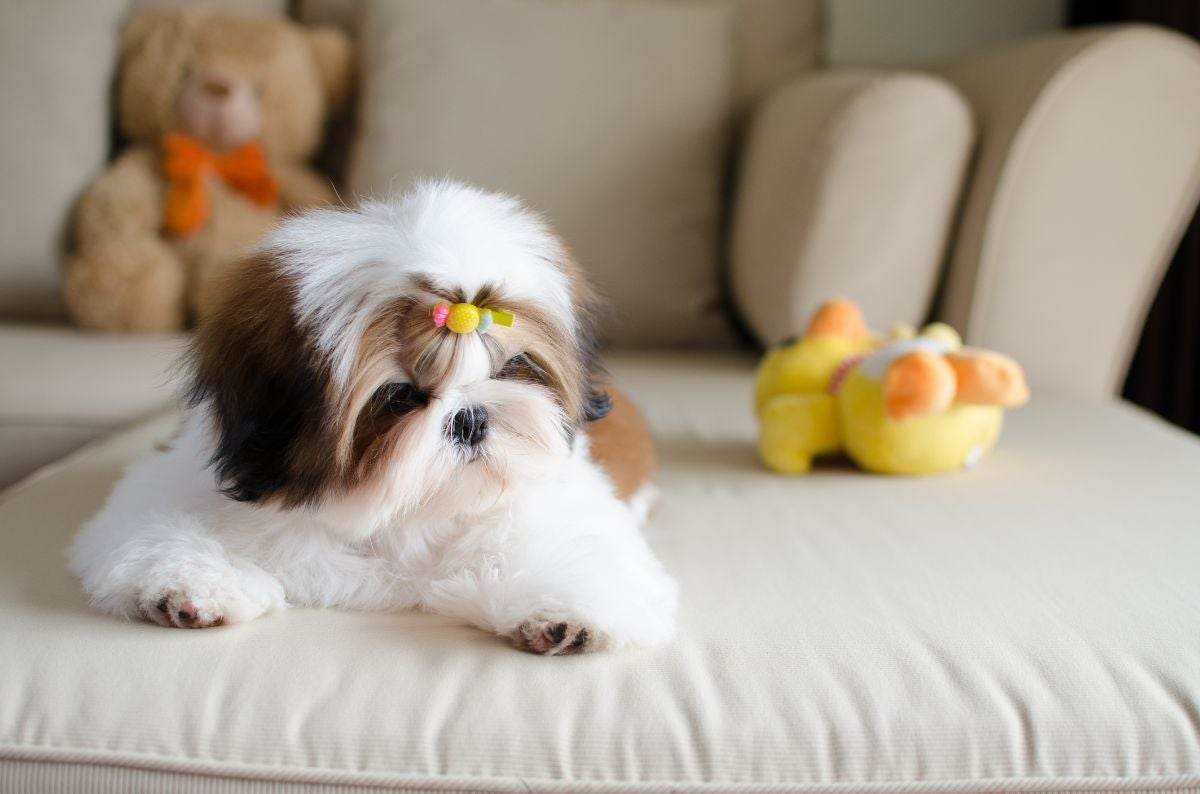 A shih tzu puppy on the couch with a little ponytail on their head