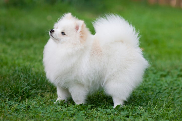 A Pomeranian puppy stands in the grass and lifts its head up, looking quite regal