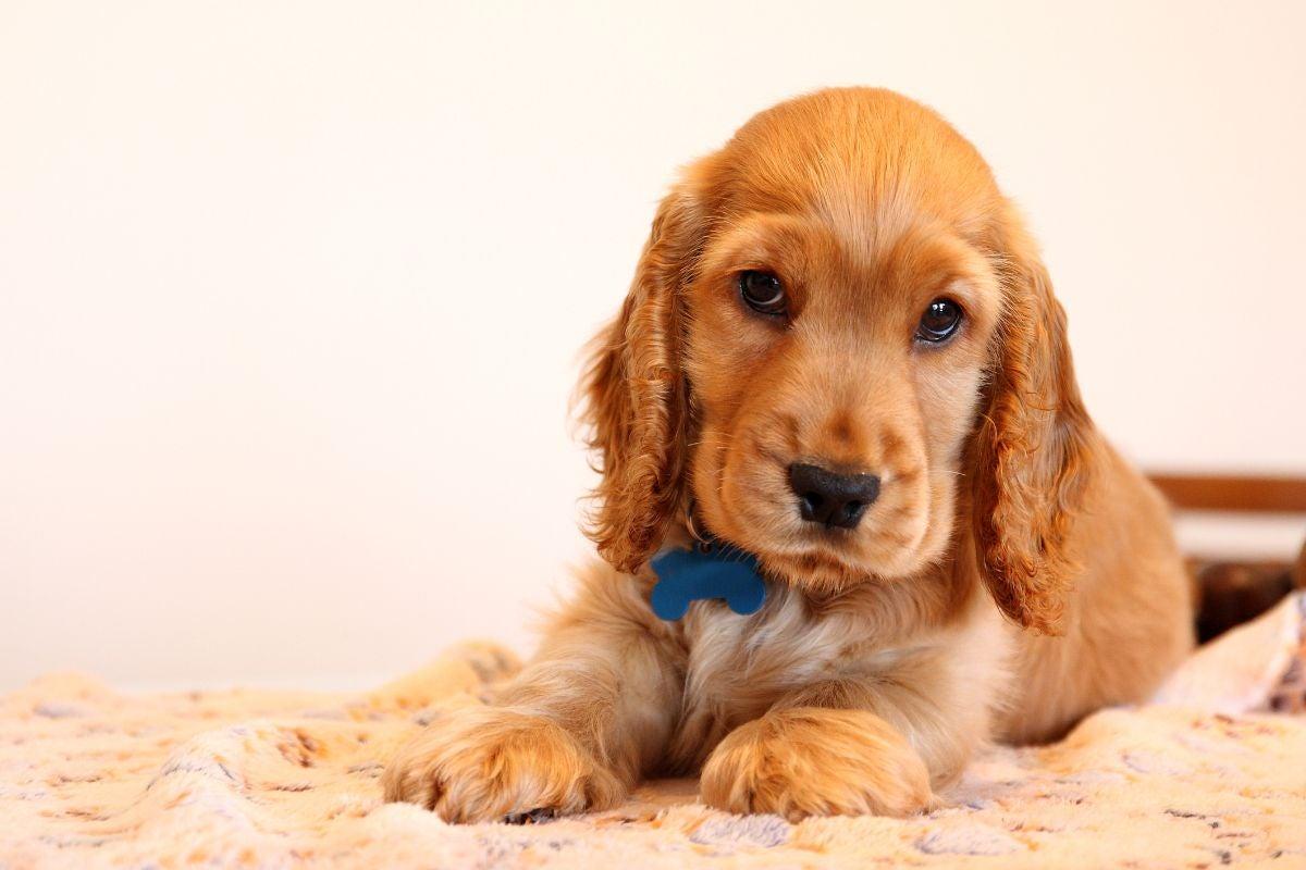 A cocker spaniel puppy resting on a blanket