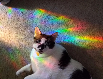 reviewer's cat sitting on the floor with rainbow light from the window film on them