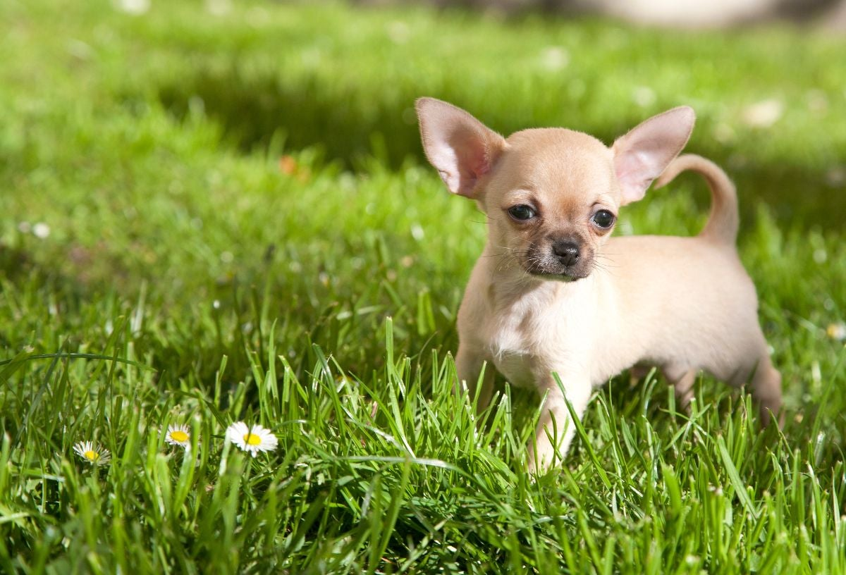 A Chihuahua puppy stands in a meadow