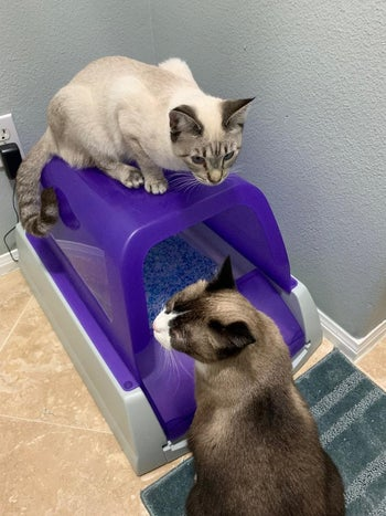 two cats with the purple covered litter box