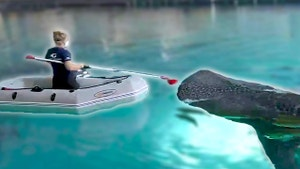 Caretaker in a boat feeding a whale shark with a pole.