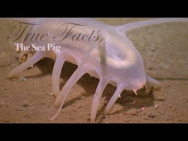 BuzzFeed Video - True Facts About The Sea Pig